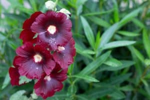 A dark colored hollyhock flower blooming on the garden, Should You Soak Hollyhock Seeds?