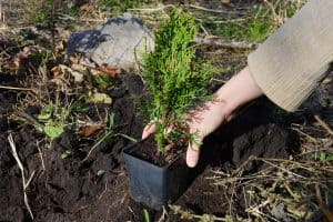 Read more about the article How Often To Water Emerald Green Arborvitae?