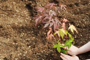 Read more about the article How Far Apart To Plant Maple Trees – By Type Of Maple