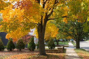 Read more about the article Should You Mulch Around Maple Trees?