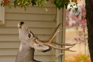 Read more about the article Are Crabapple Trees Deer Resistant? [With Tips On How To Protect Them]