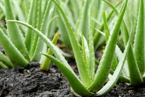 Read more about the article 7 Best Fertilizers For Aloe Vera