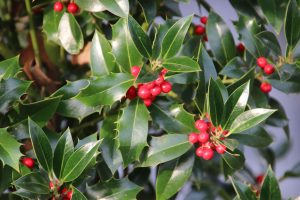 Read more about the article How Long Does Holly Last When Cut?