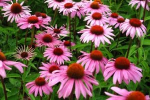Read more about the article How To Overwinter Echinacea