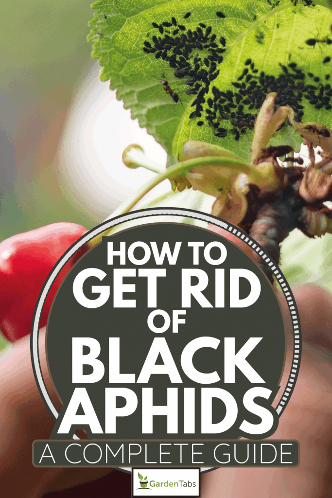 Close-up-of-Hand-Holding-Cherry-Tree-Branch-With-Aphids.-How-To-Get-Rid-Of-Black-Aphids-[A-Complete-Guide]