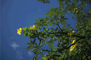 Read more about the article 6 Best Fertilizers For An Allamanda Plant