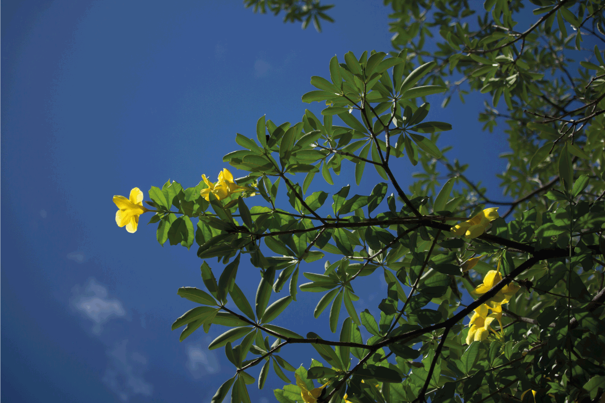Close up of Yellow Allamanda flower with blue sky background. 6 Best Fertilizers For An Allamanda Plant