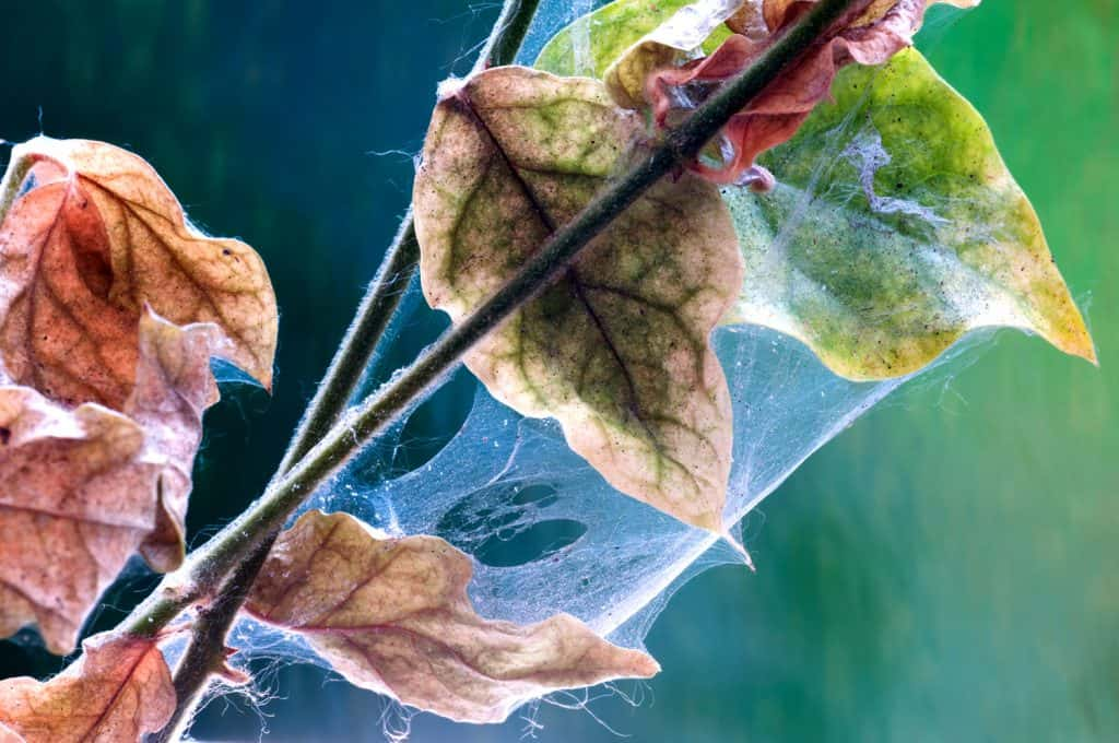 Close-up of spider mite pests of plants.