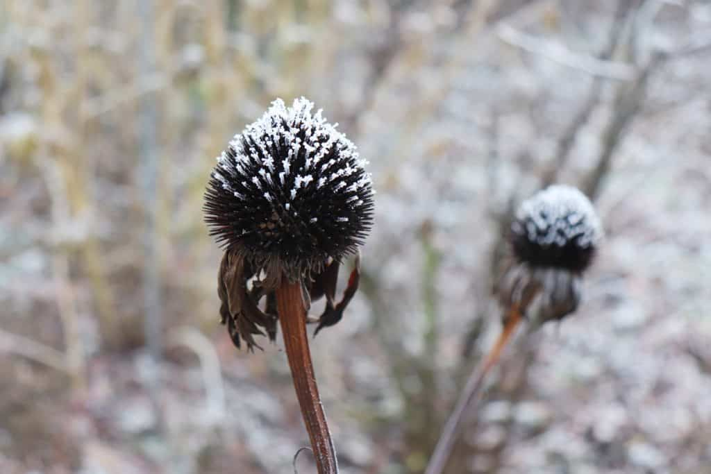 Closeup of coneflowers, Echinacea purpurea in cold winter weather. Blurred background. Winter and nature concept.