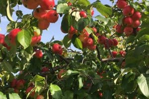 Read more about the article How Much Water Does A Crabapple Tree Need?