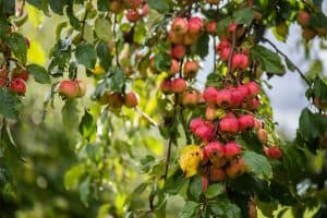 Read more about the article How And When To Prune A Crabapple Tree