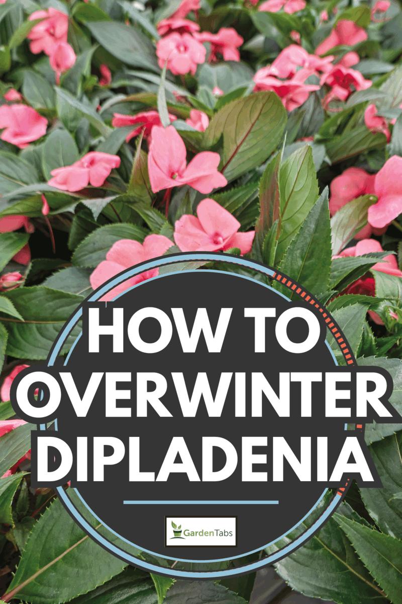 Dipladenia mandevilla in bloom in spring. How To Overwinter Dipladenia