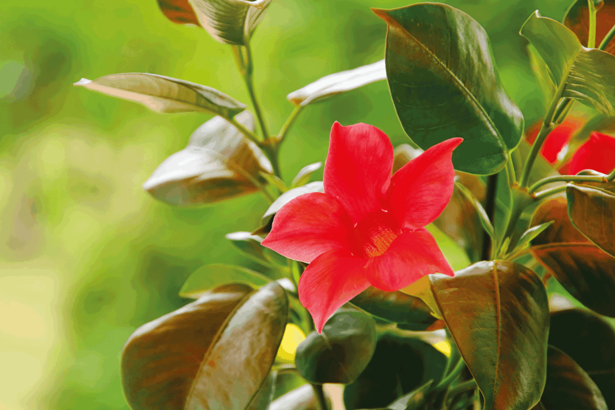 Dipladenia red flower plant close up photo