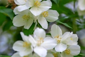 Read more about the article When Do Dogwood Trees Bloom? [And Why Isn't Mine Blooming?]