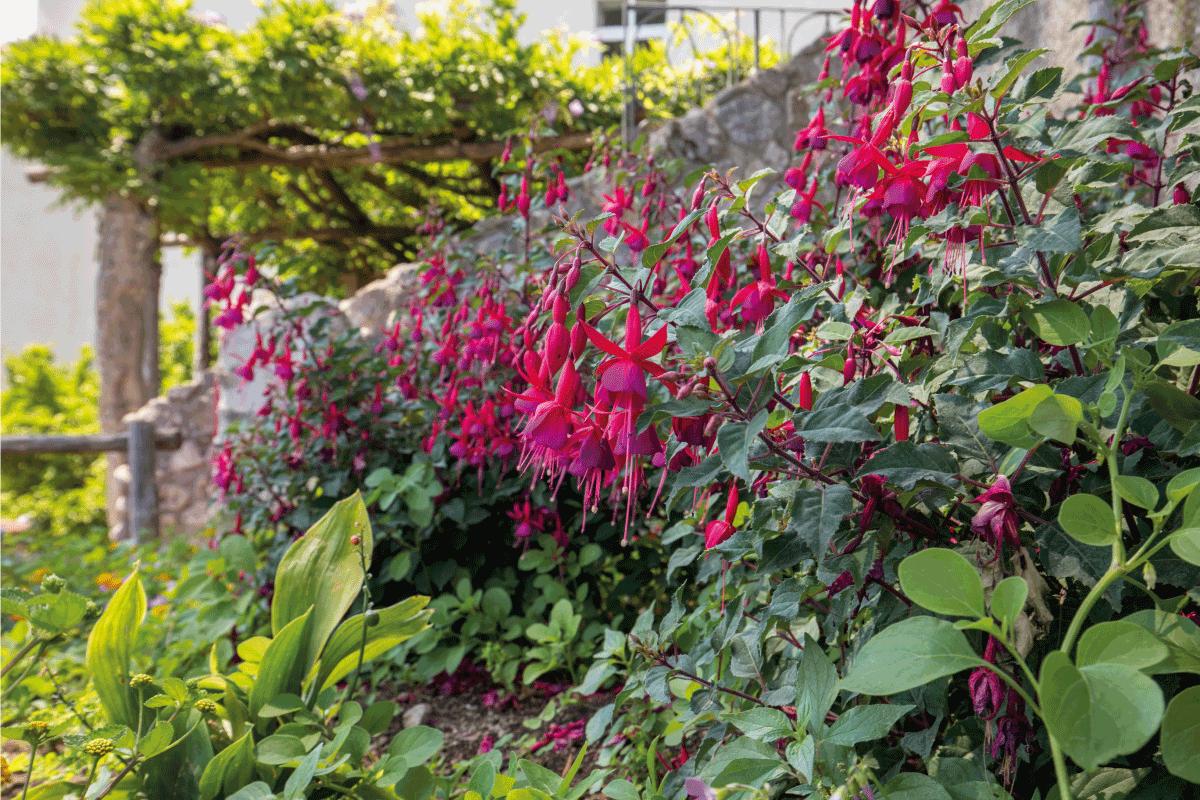 Flowers of red dipladenia mandevilla in garden. How To Overwinter Dipladenia