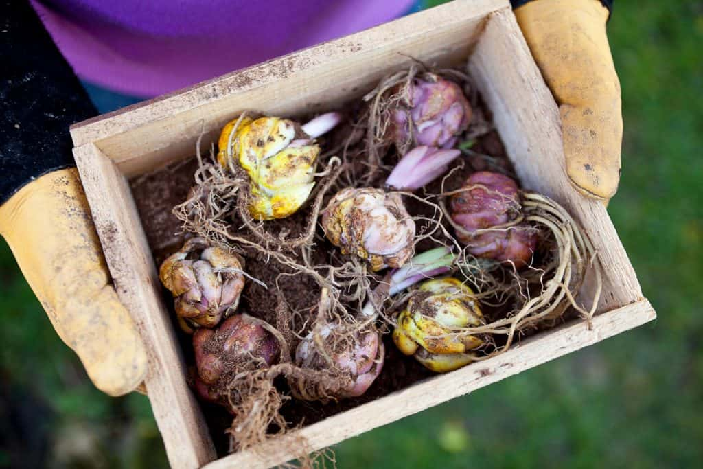 Gardener holding wooden box tray containing sprouting lily flower bulbs