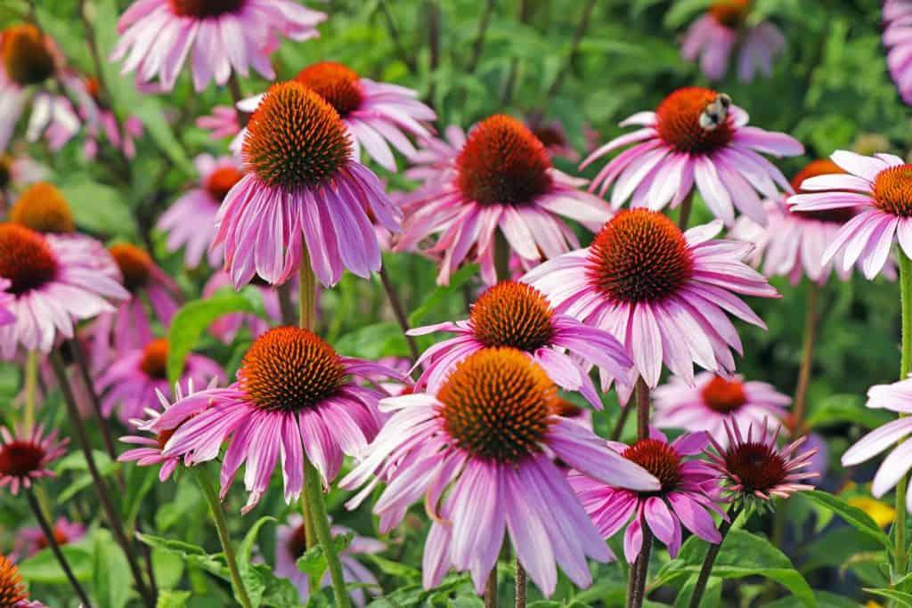Groupe of purple echinacea flowers - Scheinsonnenhut