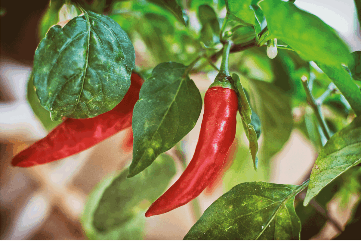 Growing Red Peppers At Home