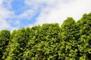 Read more about the article How Close To The Fence Can You Plant Arborvitae?