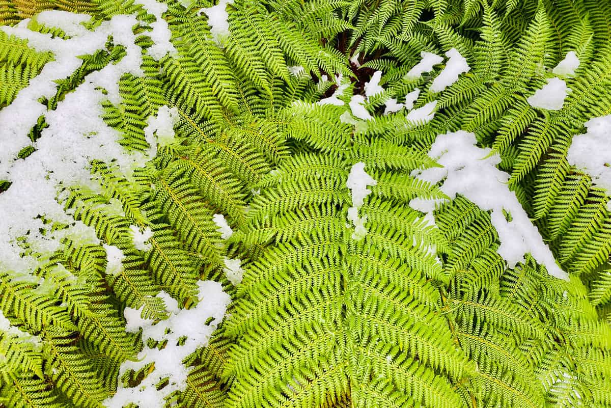 Horizontal closeup photo of freshly fallen snow on a green tree fern in the NSW New England High Country near Armidale