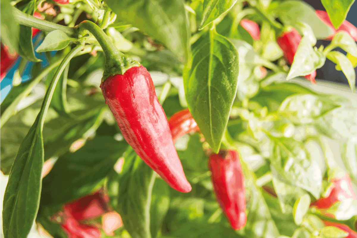 Hot chili pepper with red fruits growing on a bush, close-up.
