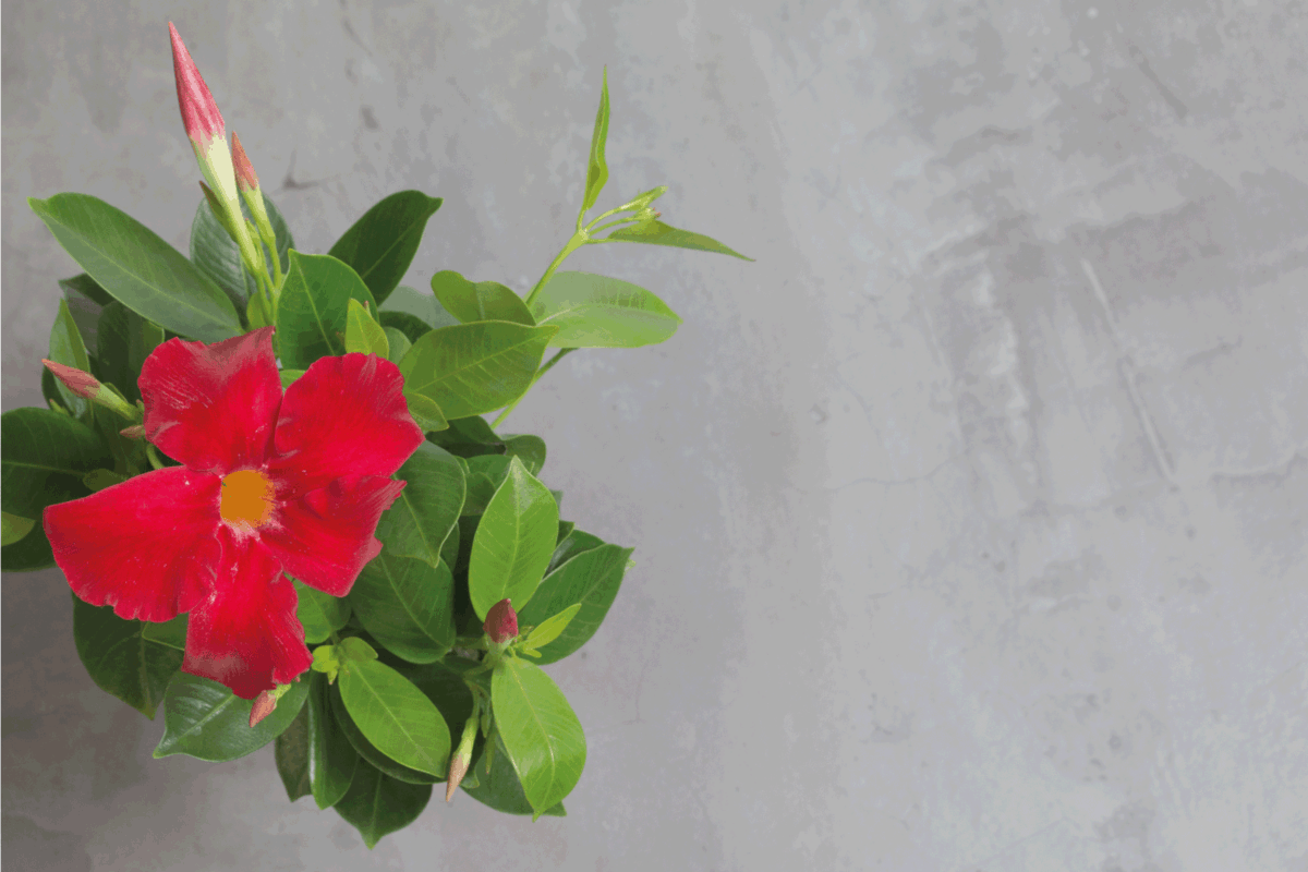 Houseplant red Dipladenia on a grey background. Flat lay