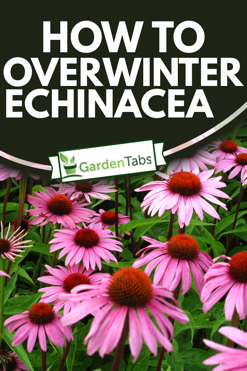 Close-up of Echinacea flowers in the grass, How To Overwinter Echinacea