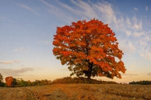 Read more about the article What Are The Best Maple Trees For Shade?