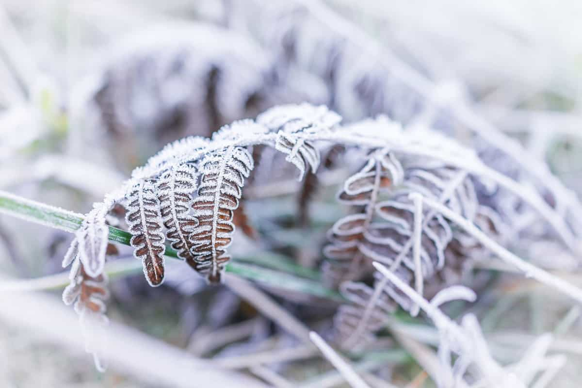 Macro closeup of frost ice crystals on brown fern branch leaves plant in morning snow, How To Properly Overwinter Ferns [Inc. Potted]
