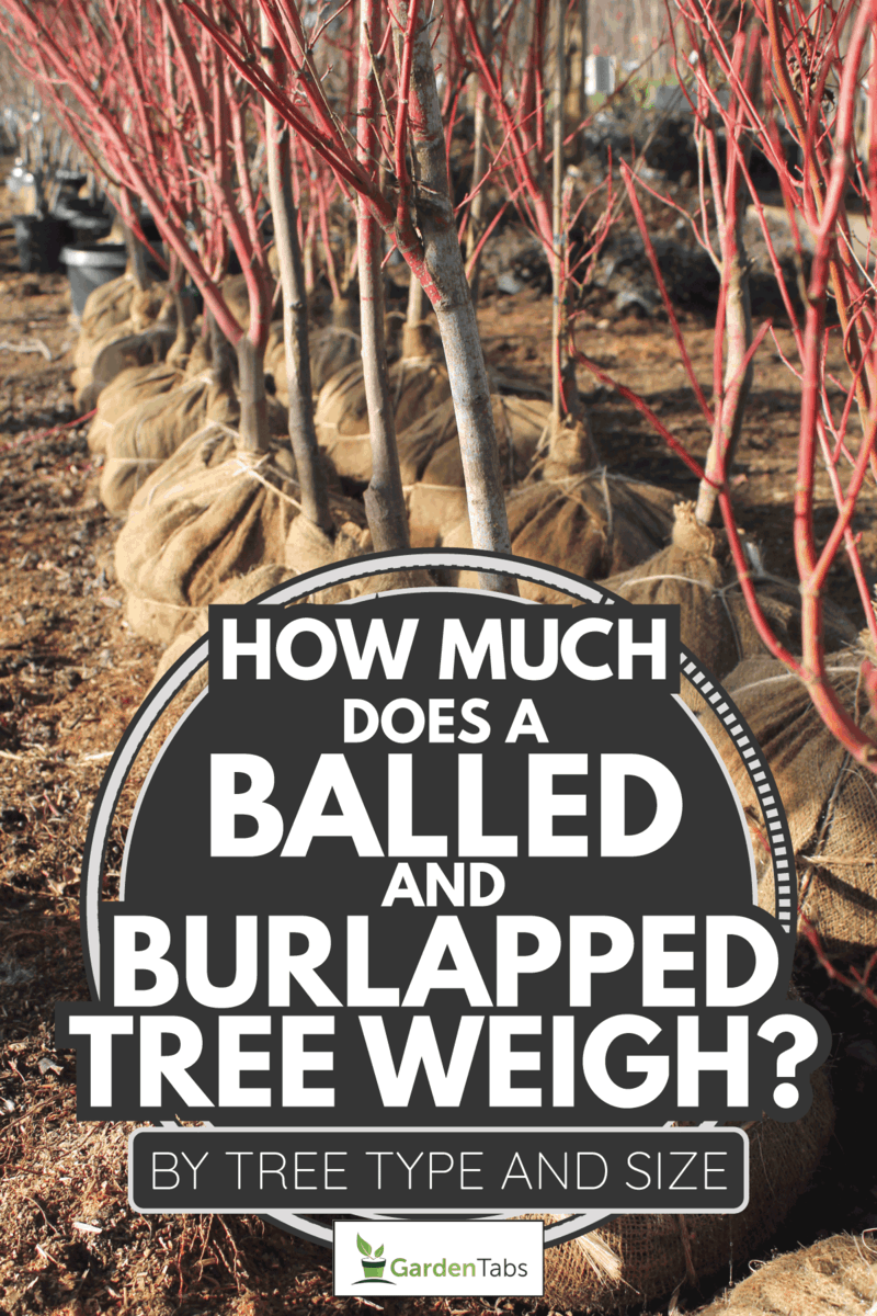 Ornamental trees with burlap wrapped root balls are ready for planting at an outdoor garden nursery. How Much Does A Balled And Burlapped Tree Weigh [By Tree Type And Size]