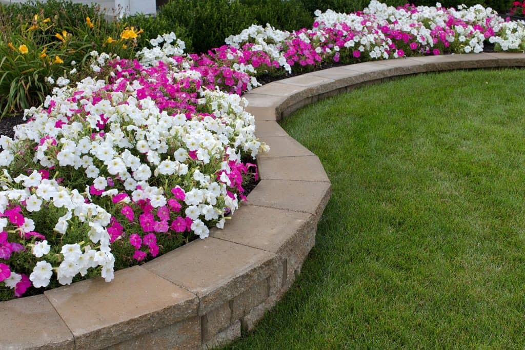 Pink and white petunias on the flower bed along with the grass