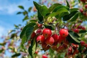 Read more about the article How Long Does A Crabapple Tree Live? [By Crabapple Variety]