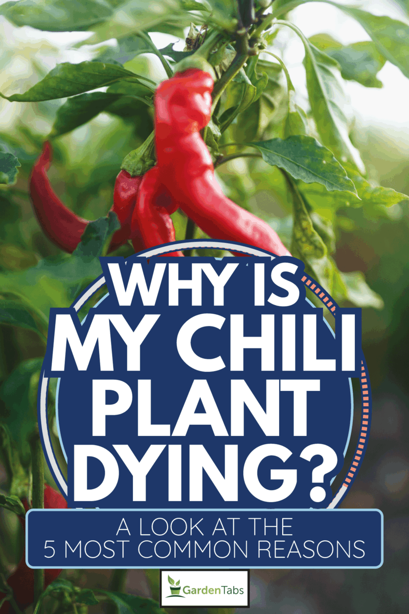 Spicy and hot flaming red chilli growing in an organic vegetable garden. Why Is My Chili Plant Dying [A Look At The 5 Most Common Reasons]