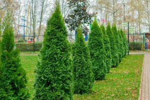 Read more about the article Should You Fertilize Arborvitae?