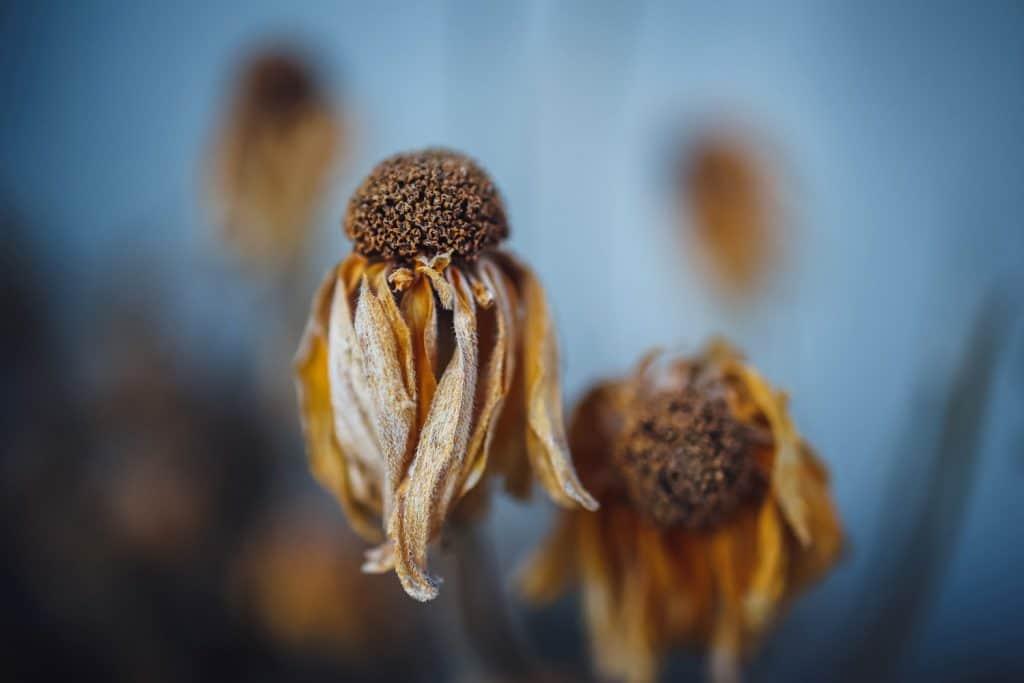 Two dead but beautiful coneflowers in winter season