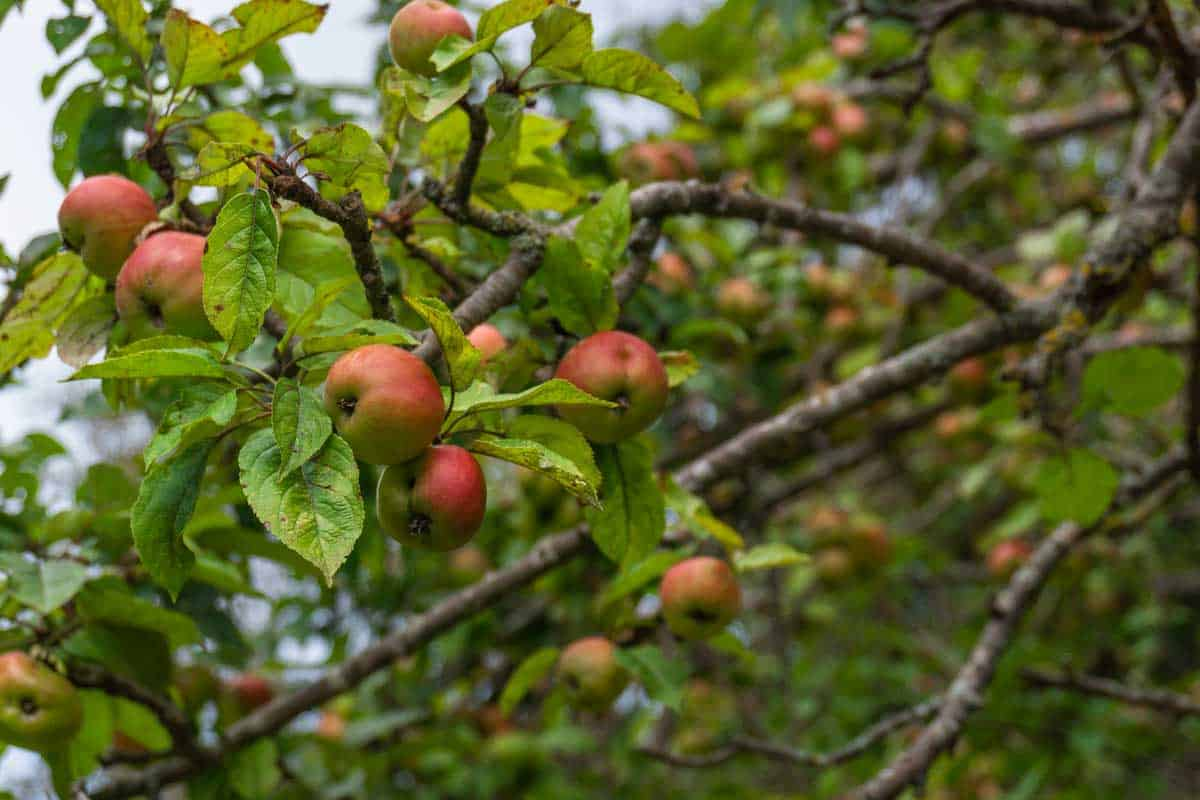 View of some red apples on a European crabapple tree, How To Save A Dying Crabapple Tree - Action Steps To Take!