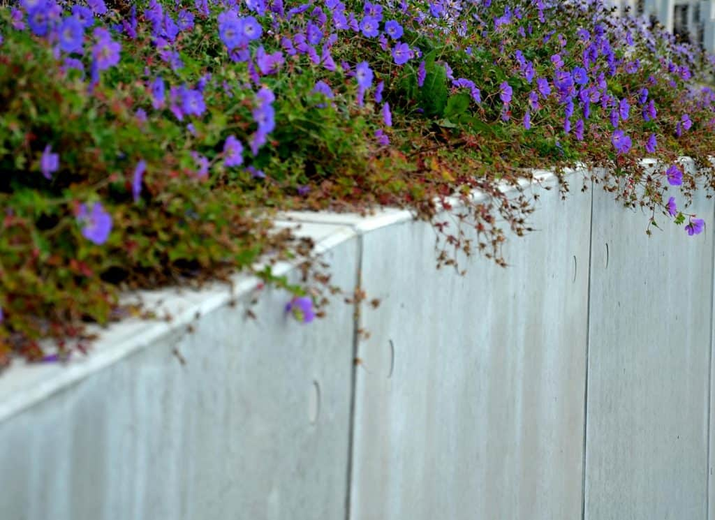 Violet flowers on top of a concrete wall