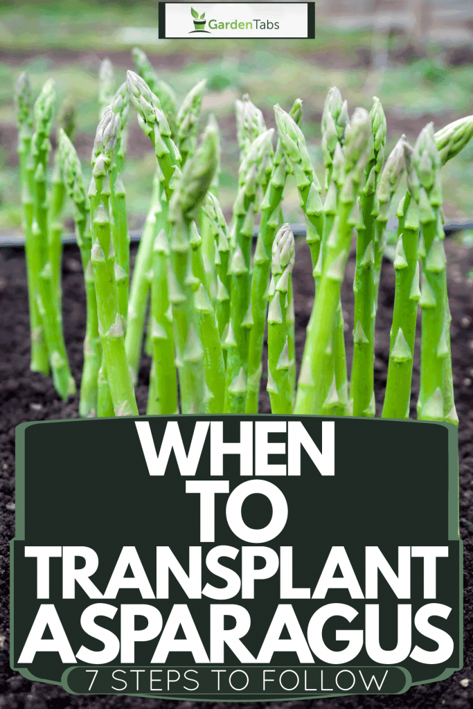 When To Transplant Asparagus [7 Steps To Follow!]