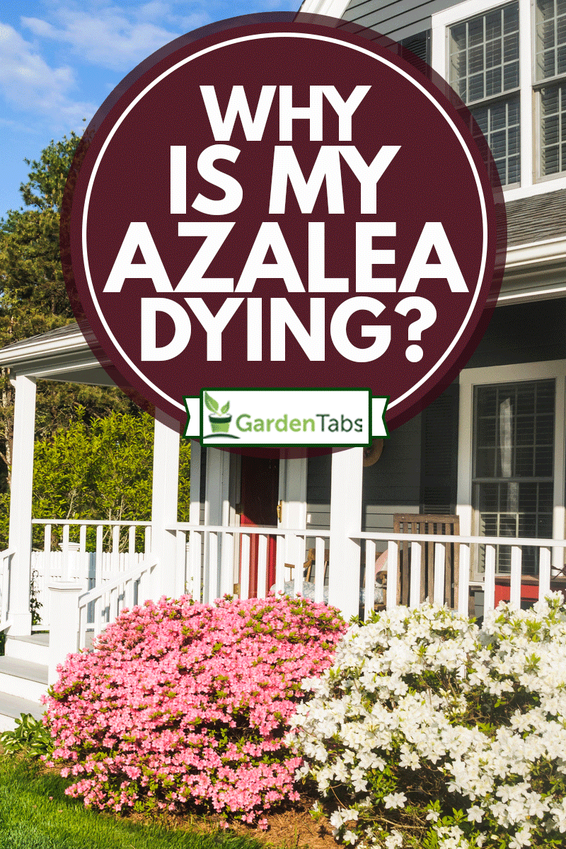 Azalea bushes in pink and white decorate the front porch of this Cape Cod Home, Why Is My Azalea Dying?