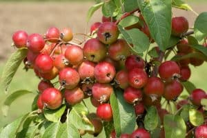 Read more about the article Do Crabapple Trees Bloom Every Year?