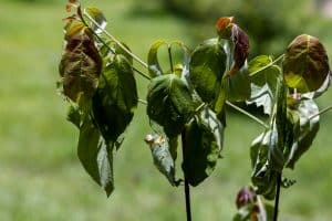 Read more about the article Dogwood Tree Dying – What Could Be Wrong?