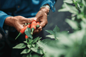 Read more about the article Why Is My Chili Plant Dying? [A Look At The 5 Most Common Reasons]