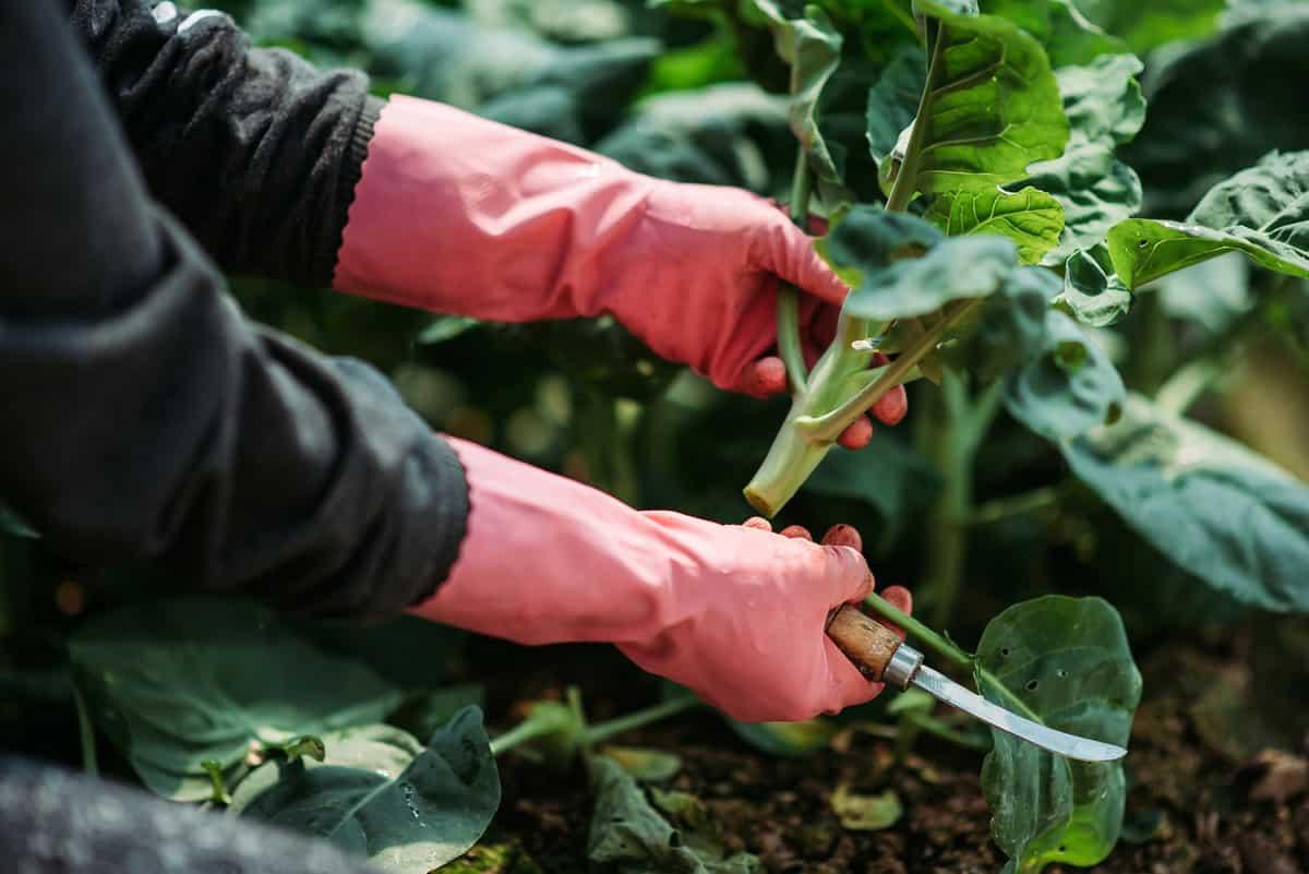 crop shot of farm worker hand holding harvesting chinese kai lan plant