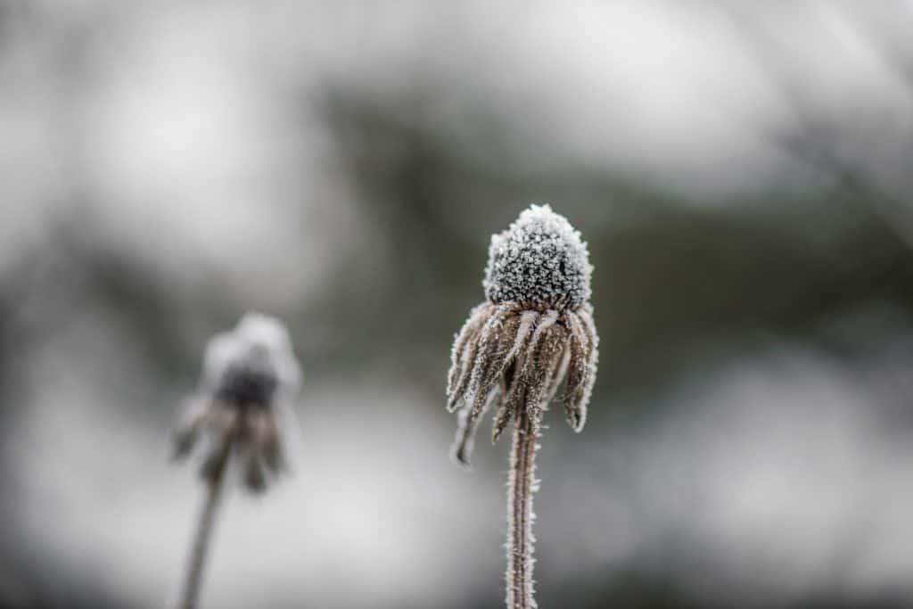 frosty echinacea