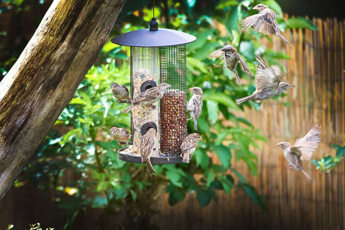 sparrows on garden feeder waiting to have a turn