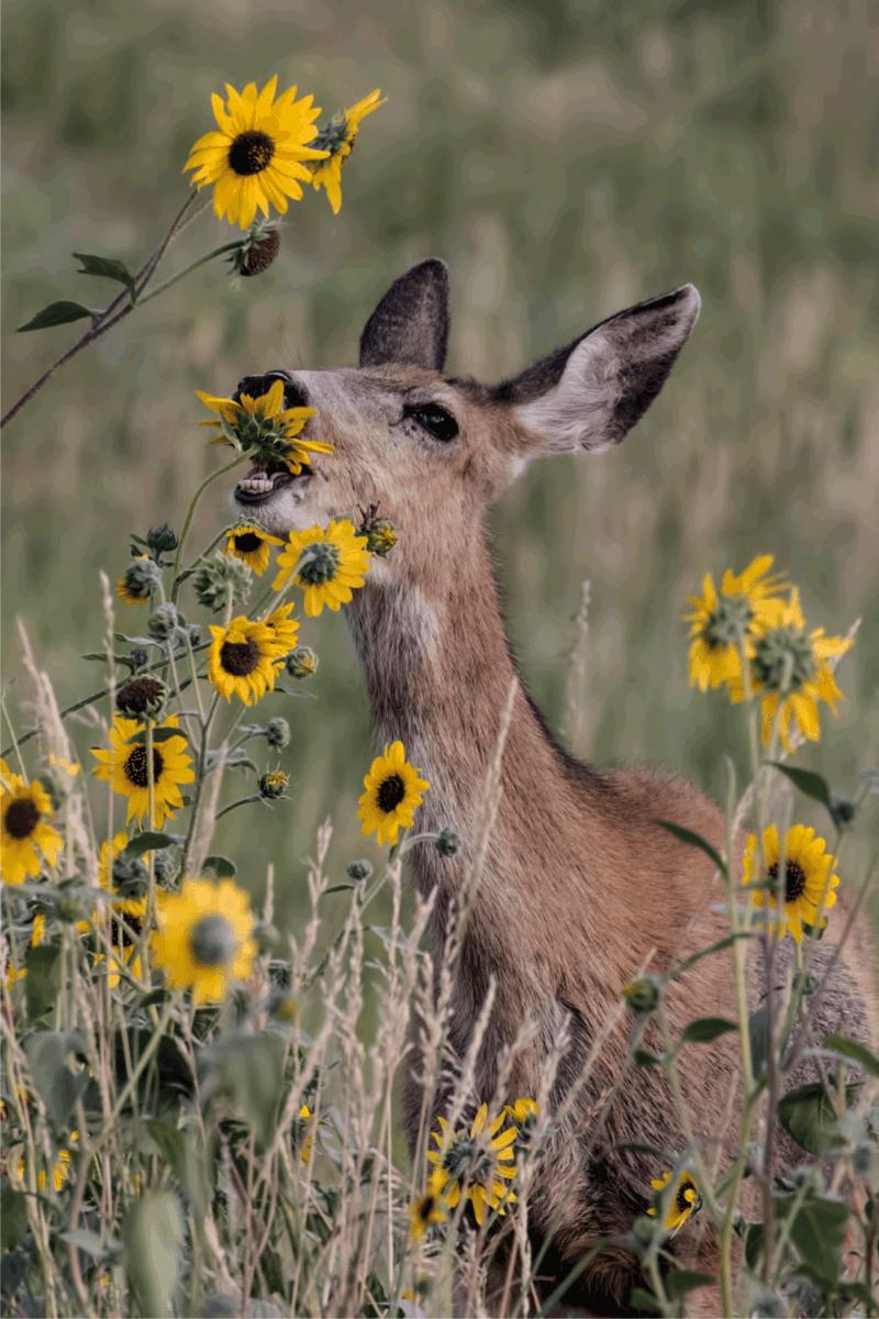 A Mule deer doe eating sunflowers