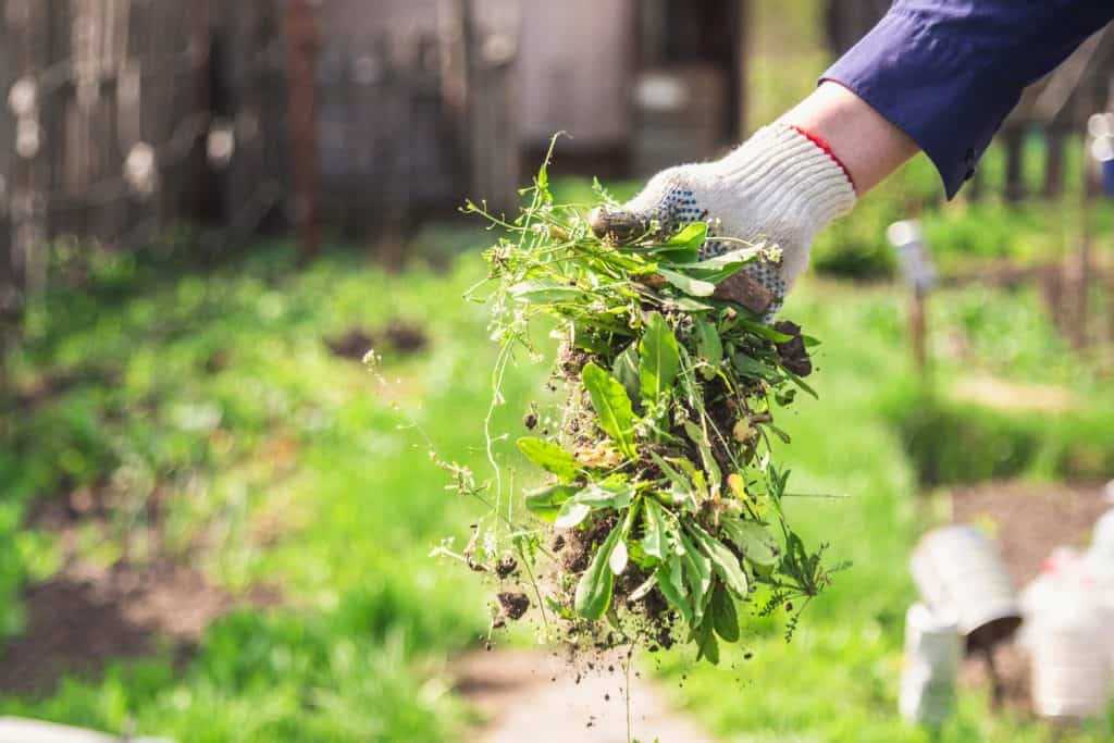 A man picking out weed in the garden