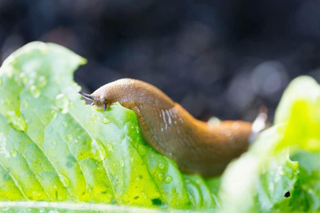 A slug eating away leaves of a lettuce