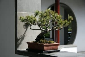Read more about the article My Ikea Bonsai Tree Is Dying – What To Do?