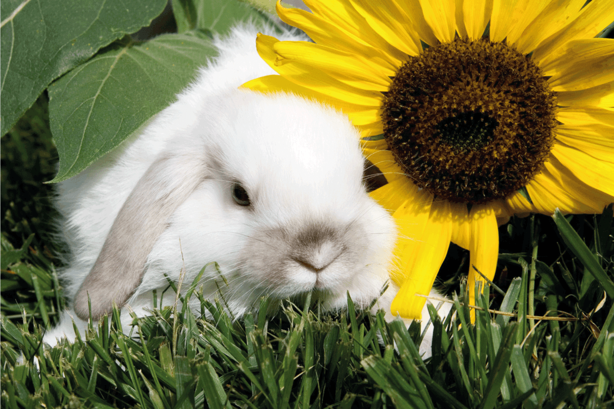 A young rabbit sits on a grassy lawn next to a bright yellow sunflower.